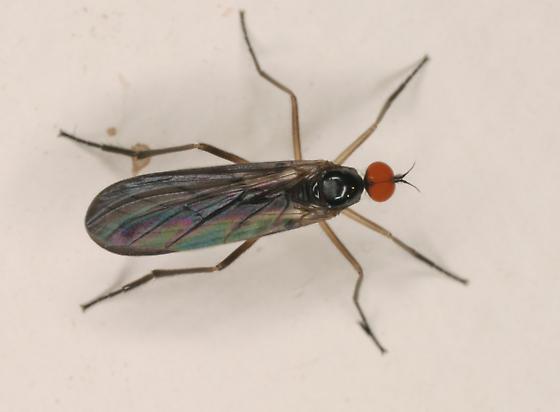 Rhamphomyia longicauda - male