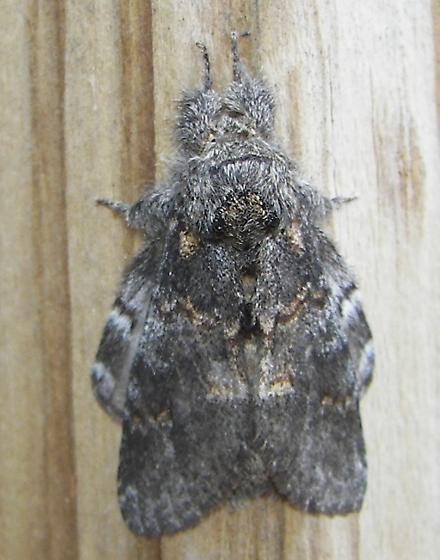 Angulose Prominent Moth - Peridea angulosa