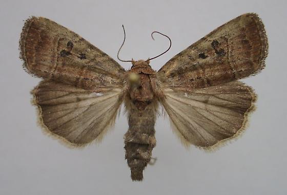 Elaphria - Elaphria fuscimacula