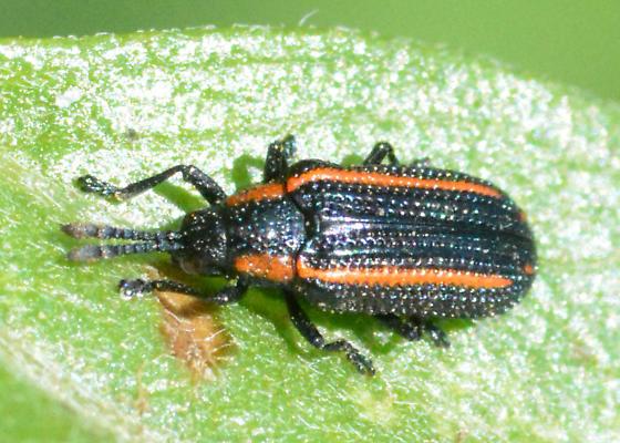 Yipes! Stripes! - Microrhopala rubrolineata