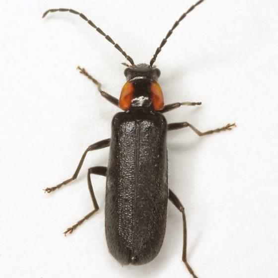 Rhagonycha lineola (Fabricius) - Rhagonycha lineola