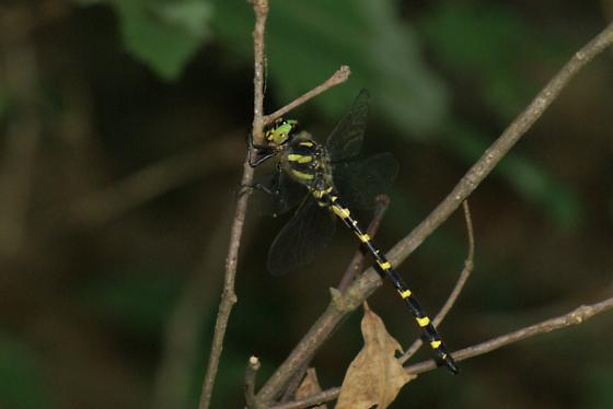 Cordulegaster erronea ( Tiger Spiketail) - Cordulegaster erronea