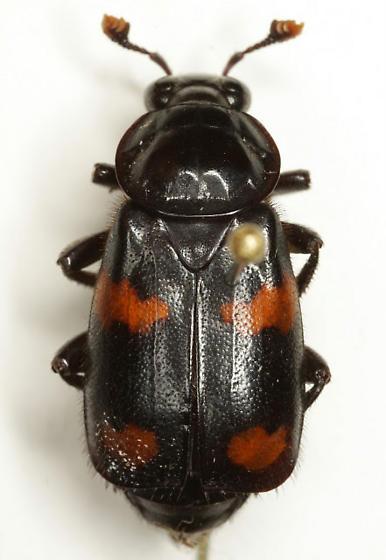 Nicrophorus orbicollis Say - Nicrophorus orbicollis