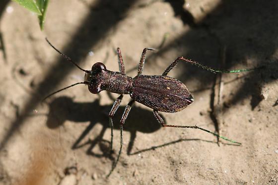 Swift Tiger Beetle - Parvindela celeripes