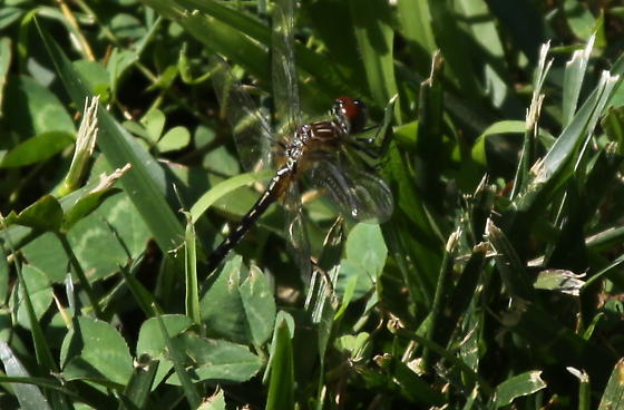 Unknown Dragonfly - Pachydiplax longipennis