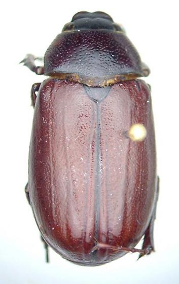 Phyllophaga hornii - male