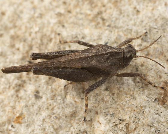 pygmy grasshopper - Tetrix subulata