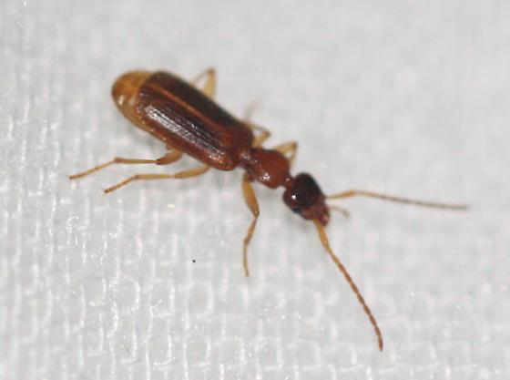 beetle - Zuphium americanum