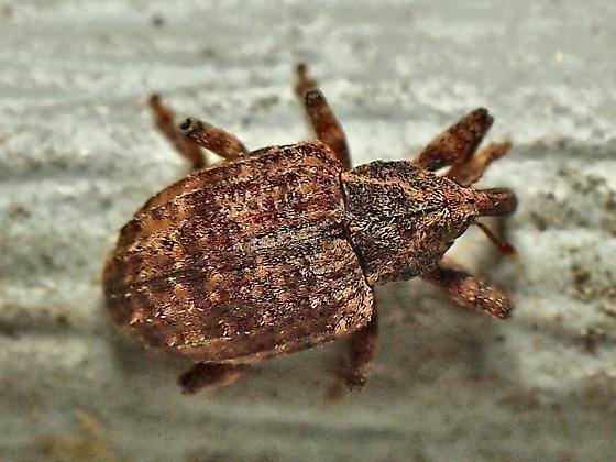 Seniculus sp.? - Conotrachelus seniculus
