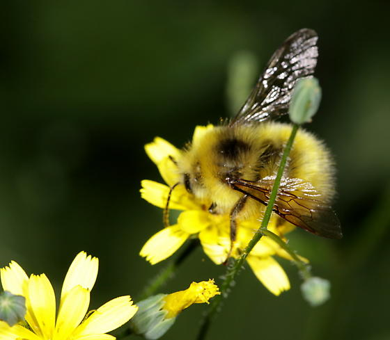 Fuzzy yellow bee - Bombus - male