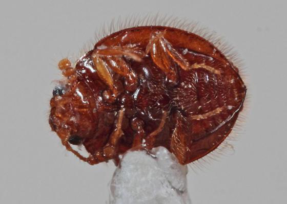 Endomychidae - Clemmus minor