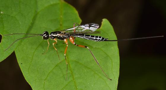 Ichneumon  - Podoschistus vittifrons - female