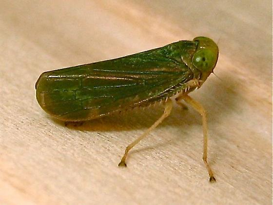 Leafhopper - Coelidia olitoria - Coelidia olitoria