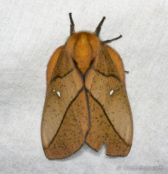 Leaf mimic? - Syssphinx montana