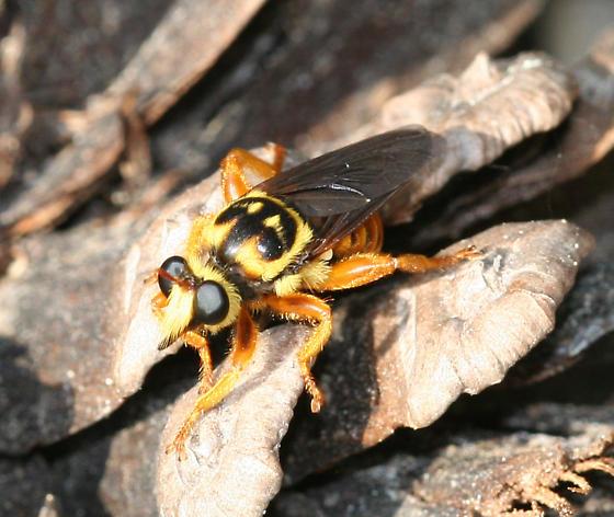 Bee-like Robber Fly - Laphria saffrana
