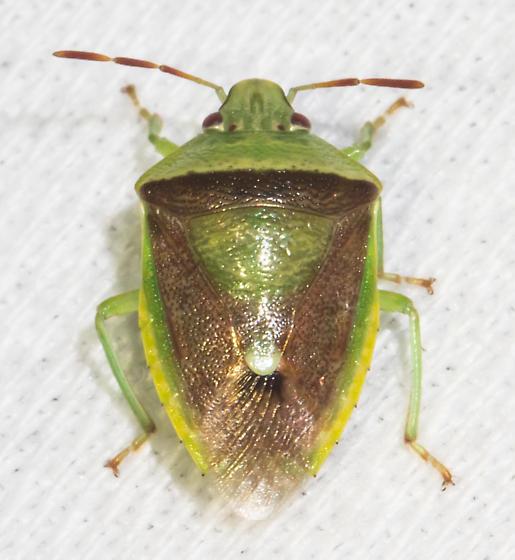 Brown and green stink bug - Banasa dimidiata
