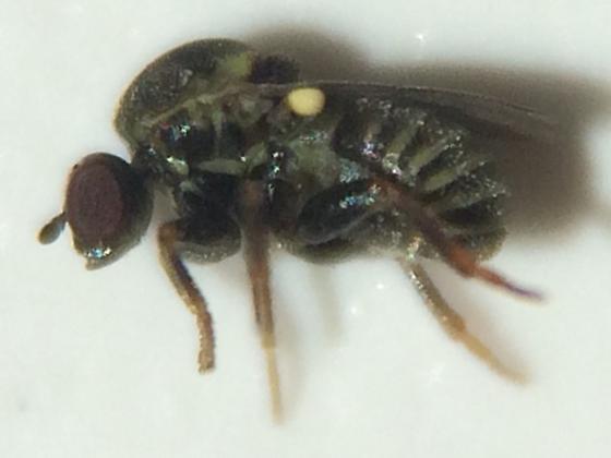 Fly - Glabellula crassicornis