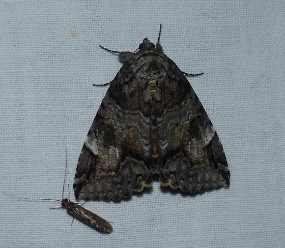 Catocala - Euparthenos nubilis