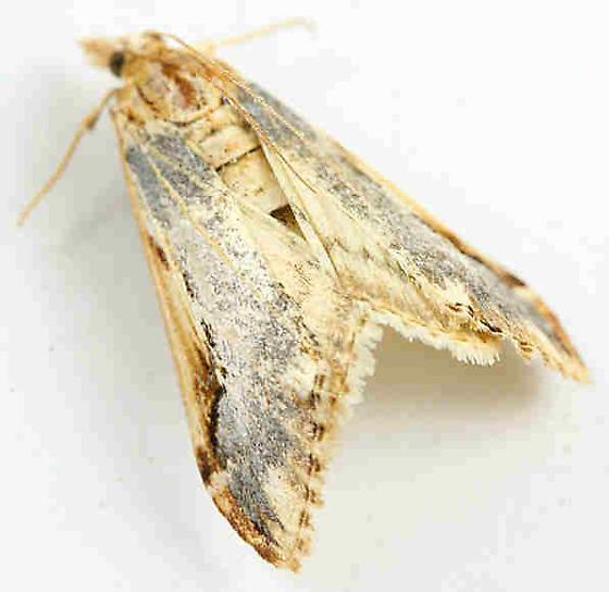 Lepidoptera--? - Loxostege albiceralis