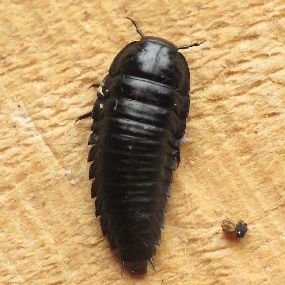 Carrion Beetle Larva Bugguide Net
