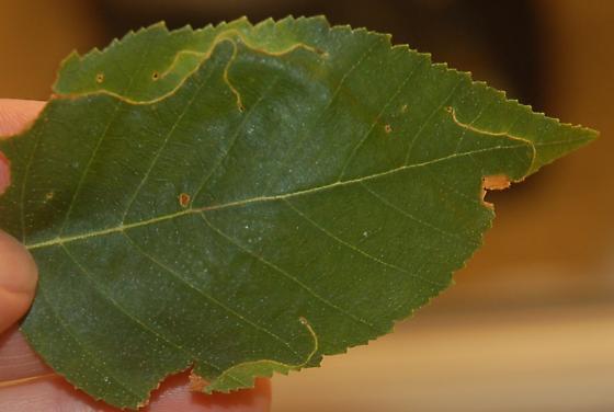 Seattle leaf miner on Betula SW1 2016 4 - Lyonetia prunifoliella