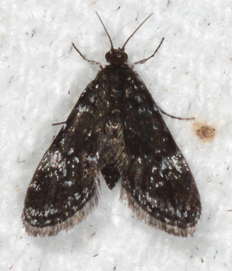 Elophila tinealis - Black Duckweed Moth - Elophila tinealis