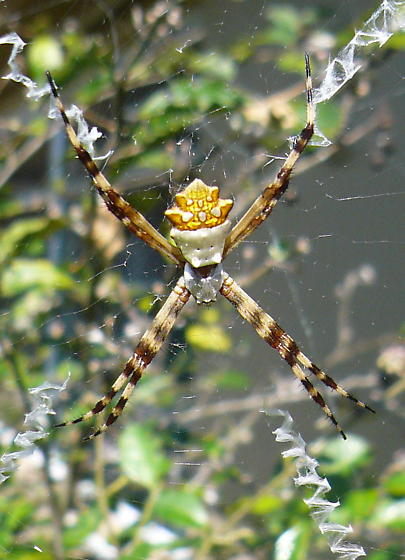 silver body with gold crown back and striped legs - Argiope argentata - female