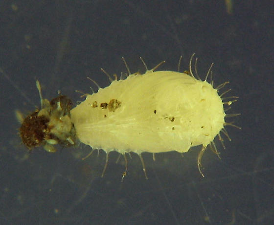 Guess which beetle family - Nycteus testaceus