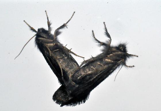 mating moths - Acrolophus