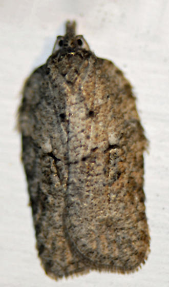 Tortricid - Acleris