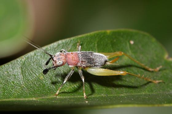 Red-headed Bush Cricket - Phyllopalpus pulchellus - female