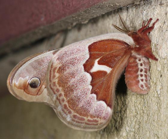 Promethea Moth - Callosamia promethea