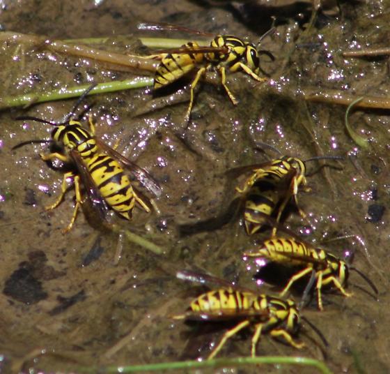 California Yellowjacket - Vespula sulphurea