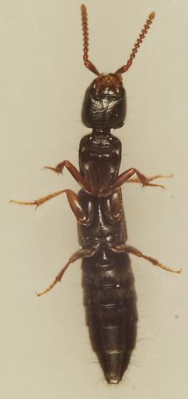 Unknown Rove beetle - Xantholinus linearis