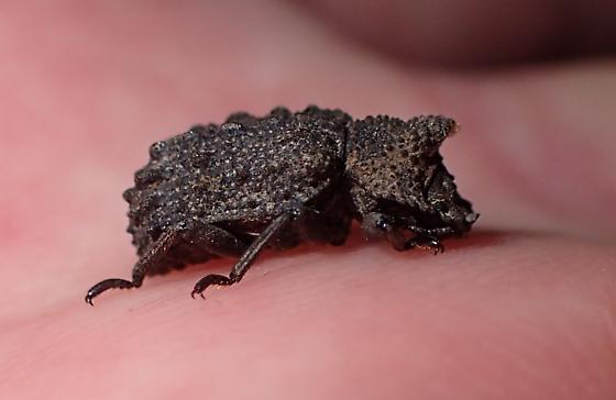 Forked Fungus Beetle (Bolitotherus cornutus) - Confirmation please - Bolitotherus cornutus