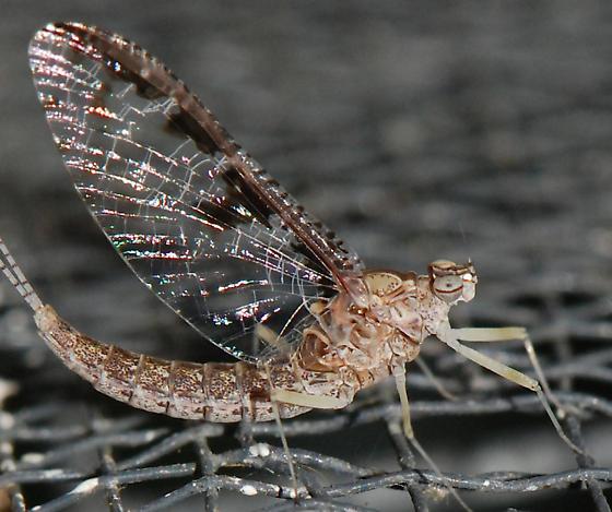 mayfly - Callibaetis ferrugineus