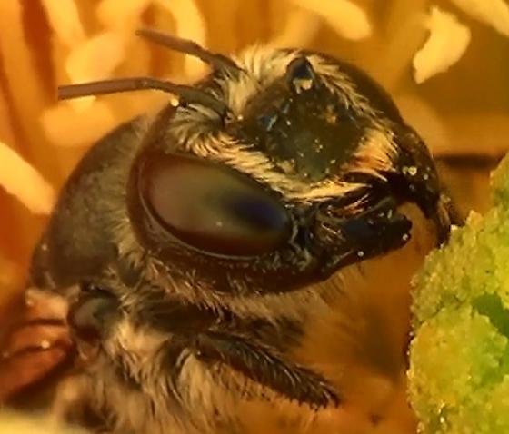 Mason Bee - CAT EARS - Lithurgopsis - female