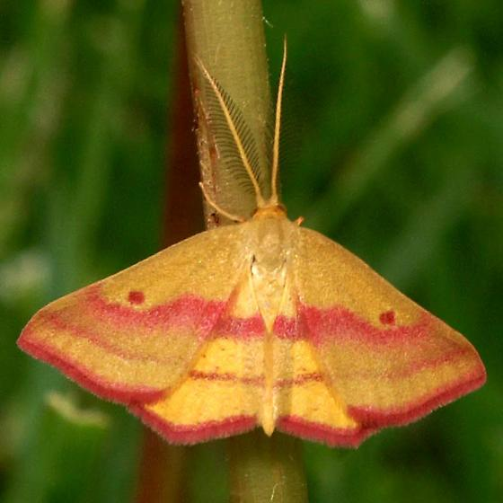 Chickweed Geometer For Illinois In April - Male - Haematopis grataria - male