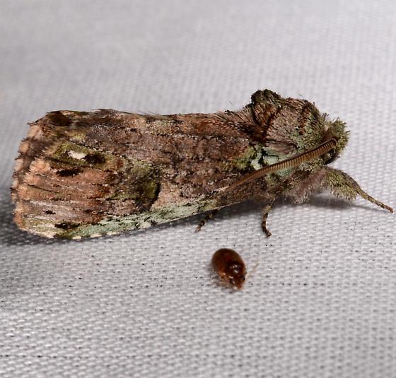 Schizura - Schizura unicornis