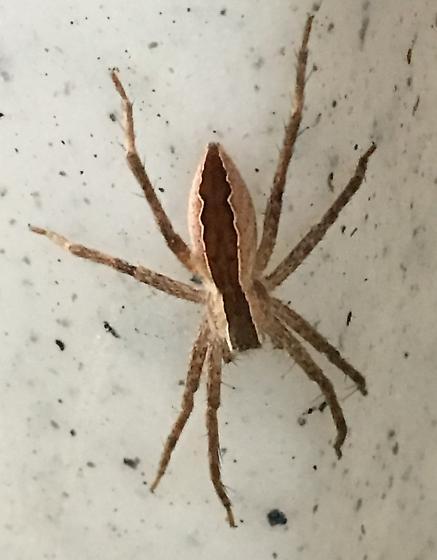 Picnic Spider - Pisaurina mira