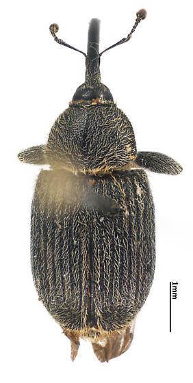 Mecinini - Rhinusa asellus - female
