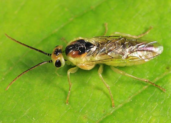 Sawfly - Pristiphora chlorea - female