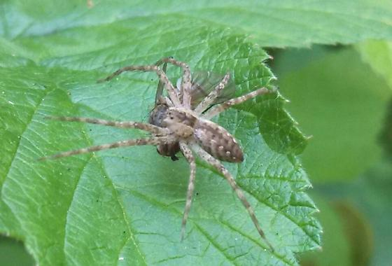 what type of spider is this? - Pisaurina mira
