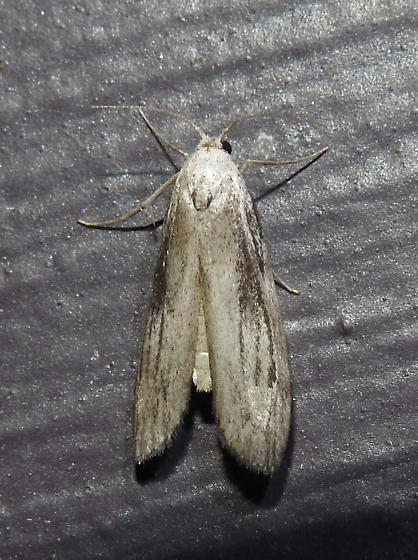 Aphomia terrenella - Terrenella Bee Moth - Hodges#5630 - Aphomia terrenella - male