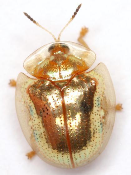 Charidotella sexpunctata sexpunctata (Fabricius) - Charidotella sexpunctata