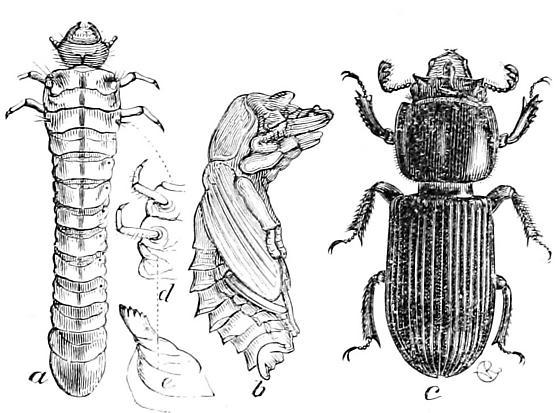 Horned Passalus life stages - Odontotaenius disjunctus