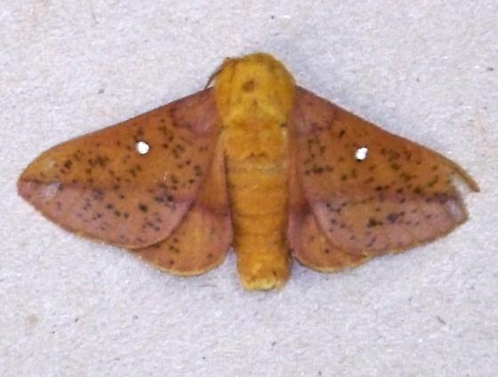 unknown moth - Anisota stigma