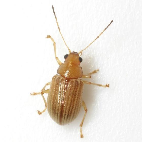 Colaspis planicostata Blake - Colaspis planicostata