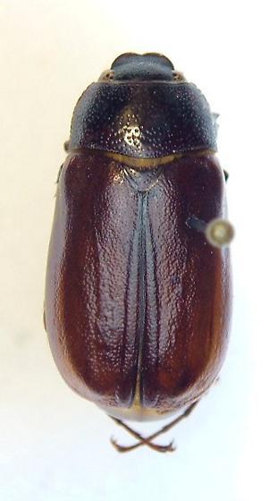 Phyllophaga forsteri - male