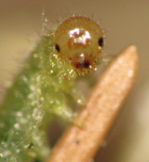 Cute little Sawfly larva - Cladius difformis